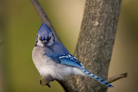 annoyance: Blue Jay perched on a branch - Cyanocitta cristata