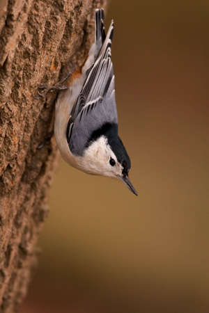 White Breasted Nuthatch clinging upside down to the side of a tree - Sitta carolinensis