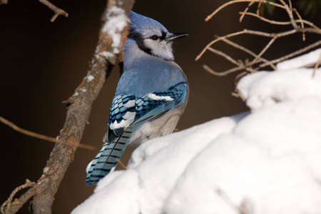 Blue Jay perched in a fresh snowfall - Cyanocitta cristata Imagens - 1954020