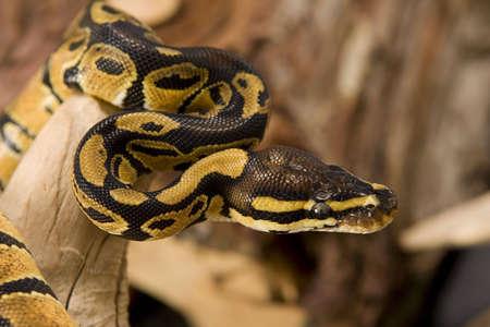 Close up photos of ball python Imagens - 1954027