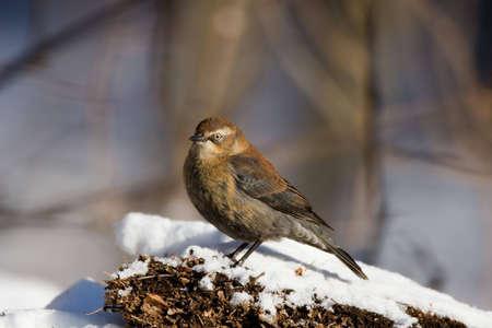 Rusty Blackbird (Euphagus carolinus) in snow scene