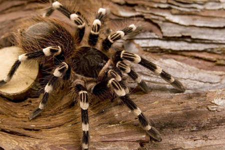 Close up view of a tarantula -Acanthoscurria geniculata - brazilian white knee tarantula Imagens - 1961456