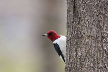 clinging: Red Headed Woodpecker - Melanerpes erythrocephalus clinging to the side of a tree Stock Photo