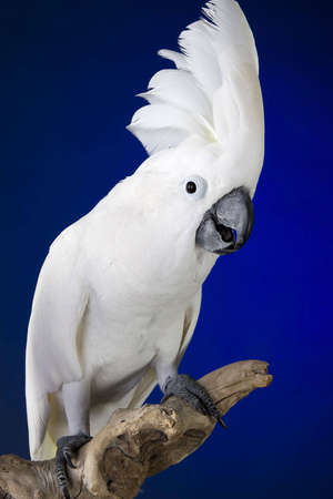 White umbrella cockatoo  portrait over blue and black background Imagens