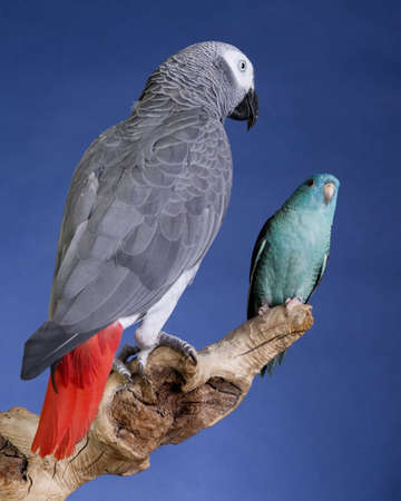 Lineolated Parakeet and Congo African Grey Parrot portrait photo