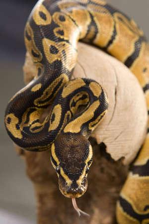 Close up photos of ball python