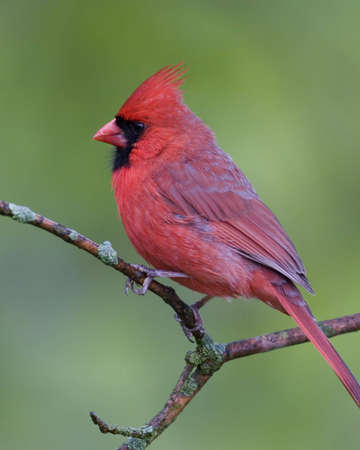 Northern Cardinal perched on a branch