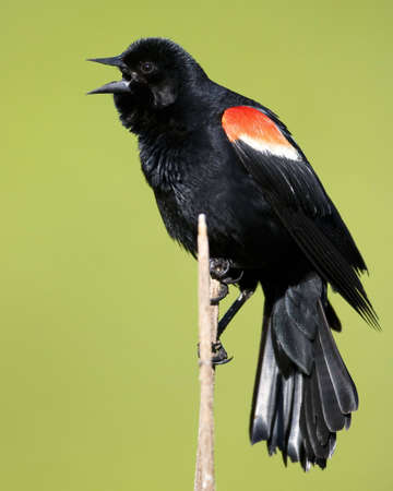 Singing Red Wing Blackbird perched on a branch photo