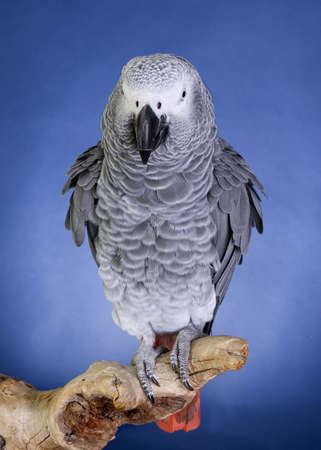 African Grey Parrot portrait photo