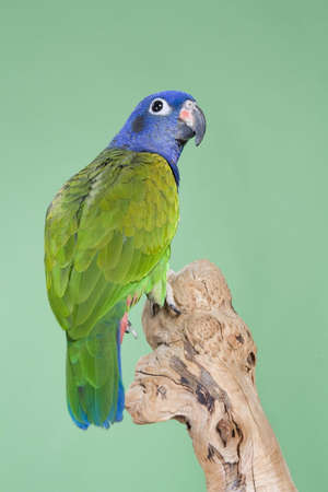 headed: Blue Headed Pionus portrait over a green background Stock Photo