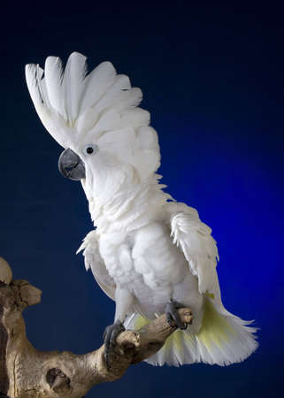 White umbrella cockatoo  portrait over blue and black background Imagens - 3355423