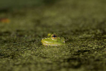 Green tree frog in green pond scum Imagens