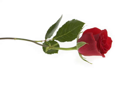Single Red Rose over a White Background