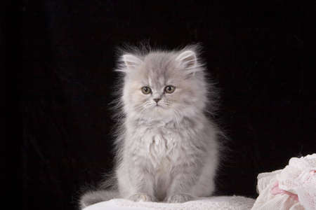 Portrait of a Grey Kitten over a black background Imagens