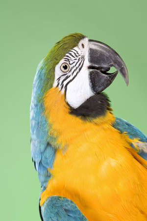 Blue and Gold Macaw portraits over a green background Imagens