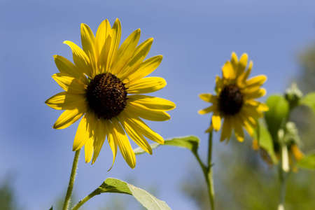 Black-Eyed Susan with blue sky