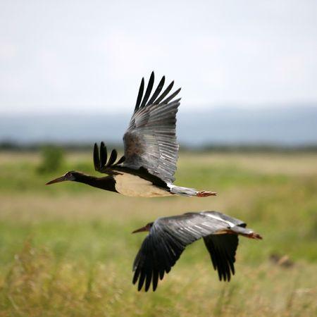 black stork: Negro cig�e�a Amboseli en Kenia