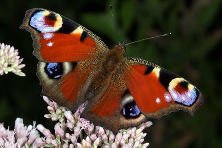 inachis: Butterfly Inachis io Stock Photo
