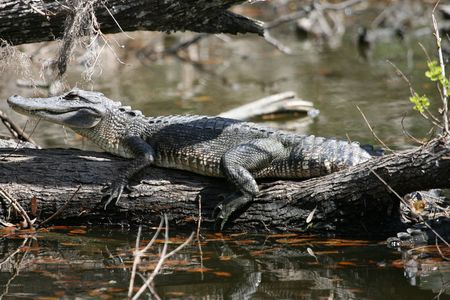 Alligator on tree trunk in Jean Lafitte national park near New Orleans photo