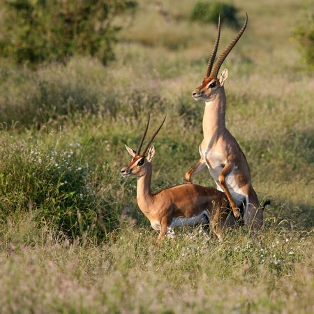 reproduction animal: Grants Gazelle season Tsavo East Kenya