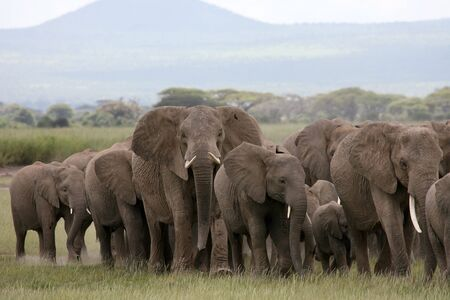 afrika: African Elephant herd in Amboseli National Park Kenya