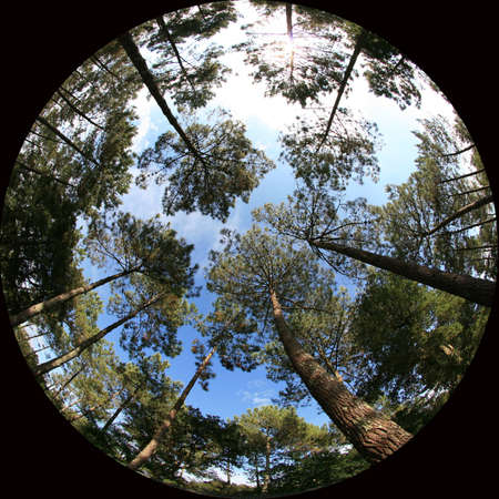 treetops: treetops, 8mm fish-eye shot of trees