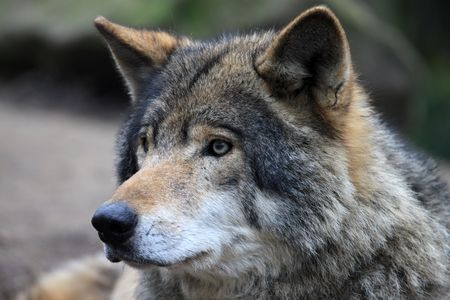 perceptive: Timberwolf