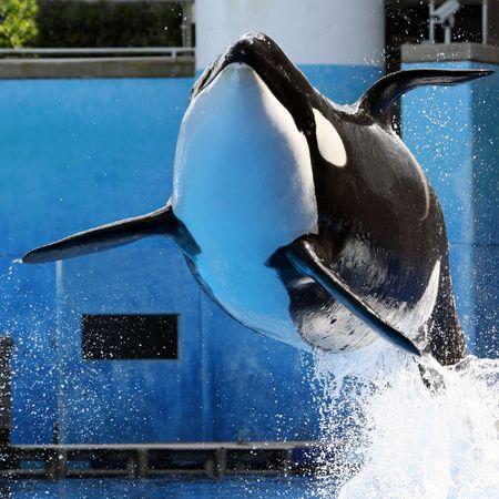 Orca killer whale photo