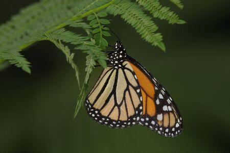 plexippus: monarch butterfly - danaus plexippus Stock Photo