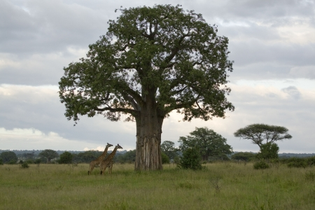 African landscape with giant Boabab tree and giraffe photo