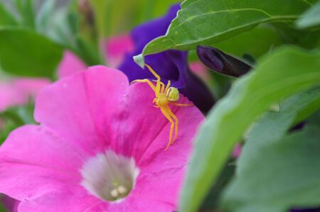 YELLOW SPIDER ON PINK FLOWER photo