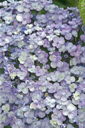 mauve: HUNDREDS OF MAUVE FLOWERS