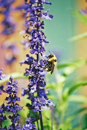 bee queen: FLORES DE COLOR P�RPURA SOBRE ABEJA REINA