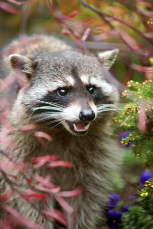 ANGRY RACCOON Stock Photo - 6760724