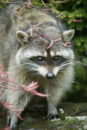 RACCOON LOOKING AT ME Stock Photo - 6760725