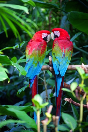 TWO RED & BLUE PARROTS