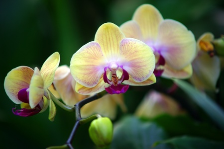 YELLOW ORCHIDS-TRIPLE