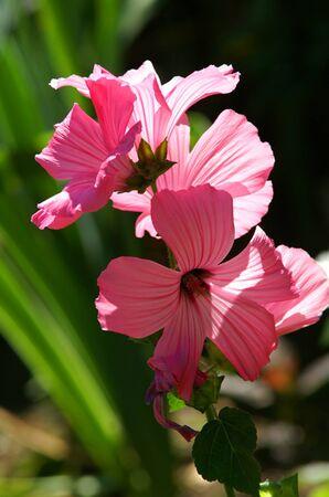 PINK BACKLIT FLOWERS Imagens