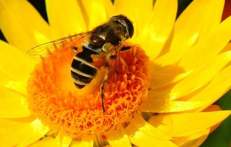 abejas: ABEJA EN EL CENTRO DE LA FLOR