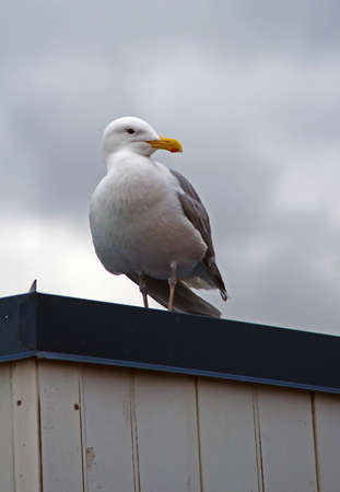 SEAGULL ON A TIN ROOF Banco de Imagens