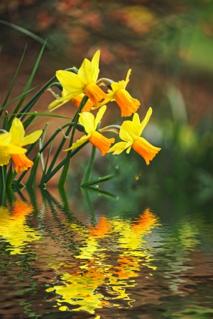 daffodils: REFLECTIVE FLOWERS