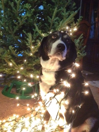 Our dog helping to decorate the tree.
