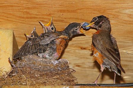 robins: Feeding the baby Robins Stock Photo