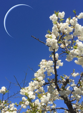 Blooming cherry tree with moon