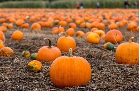 Families pick pumpkins from a farmers feild for Halloween.
