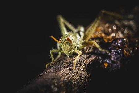 Petit grillon sur une branche d'arbre. Petit insecte vert. Banque d'images