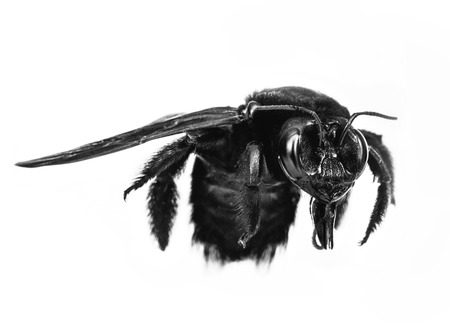 Black bee, large size, with white background isolated. Bee common in the American continent and Europe. Stock Photo