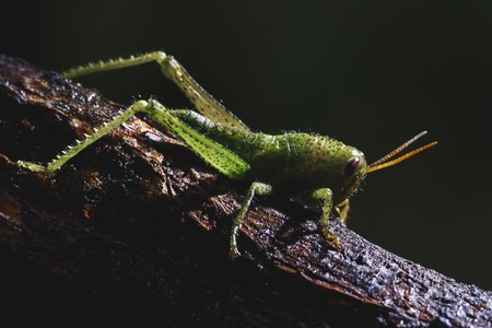 Small cricket on a tree branch. Small and green insect.
