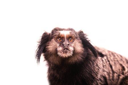 Little monkey native to areas of Atlantic Forest seen on urban trail in the city of Rio de Janeiro. In Rio de Janeiro this type of monkey is called Mico Estrela, Callithrix penicillata. Banco de Imagens