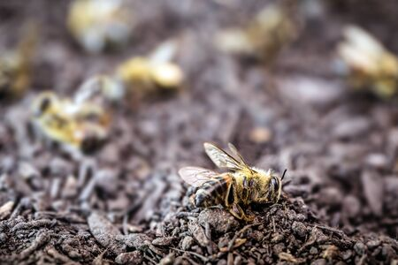 bee dead due to the use of agricultural pesticides. Environmental risk of bee extinction.